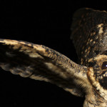 Caprimulgus-maculicaudus-JPL